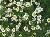 camomile roman flower